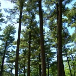 Pine Grove forest II